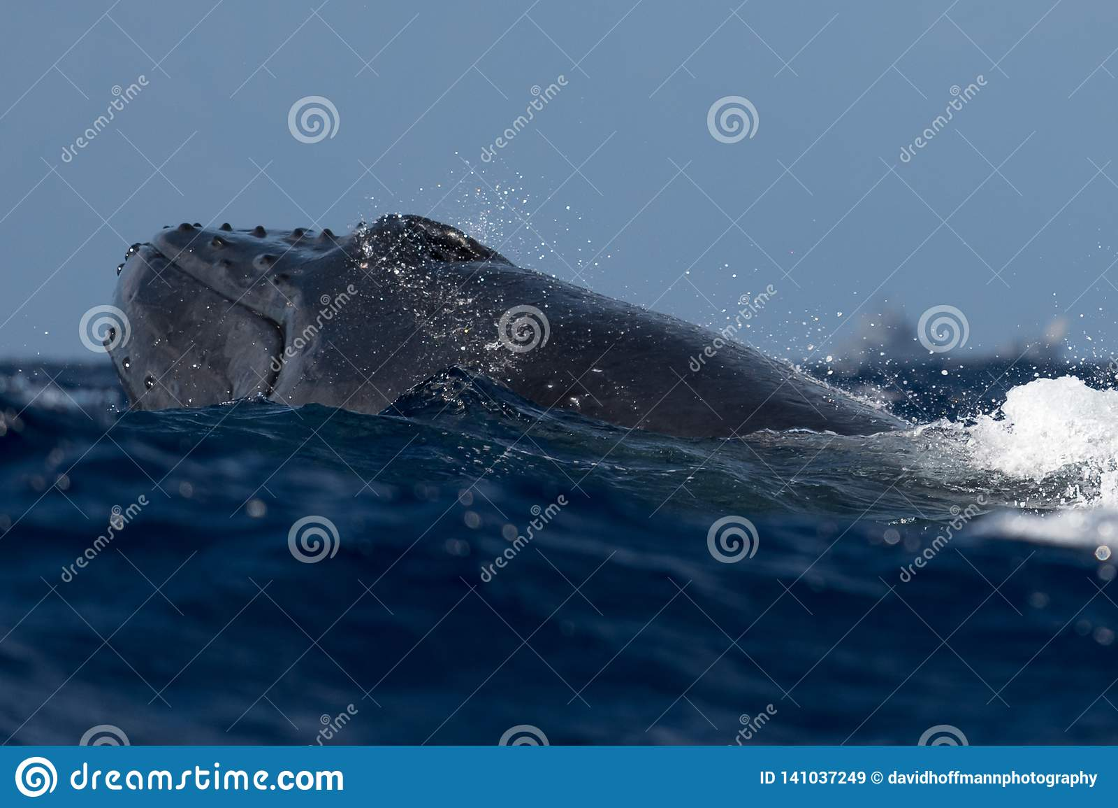 Estocada principal de la ballena jorobada del bebé