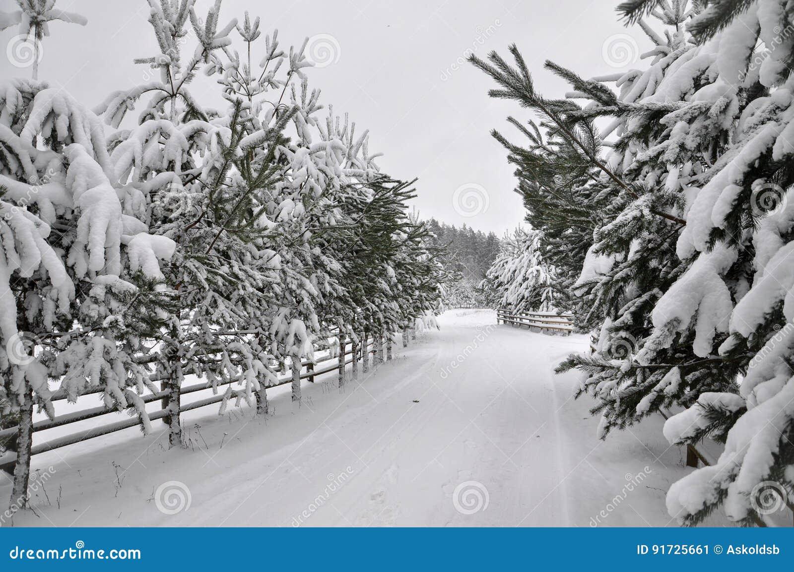 Estrada do inverno com uma cerca de madeira e os abeto em ambos os lados da estrada