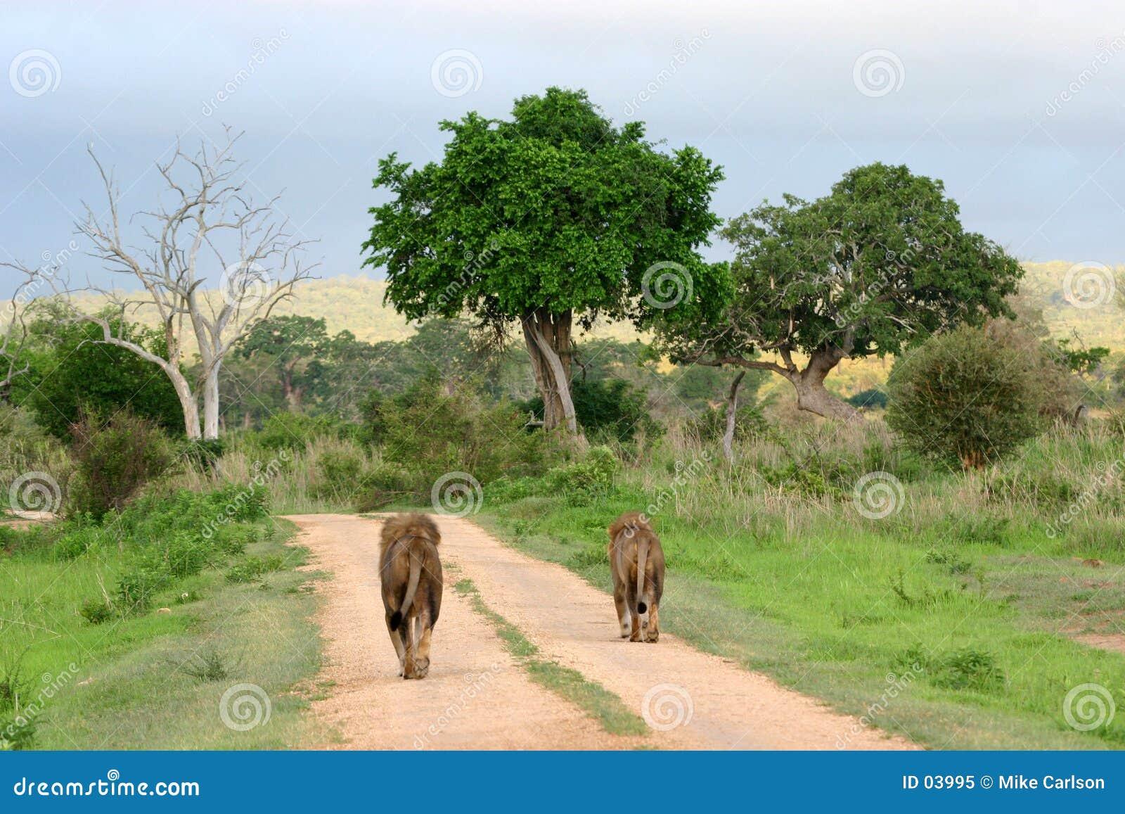 Estrada do leão