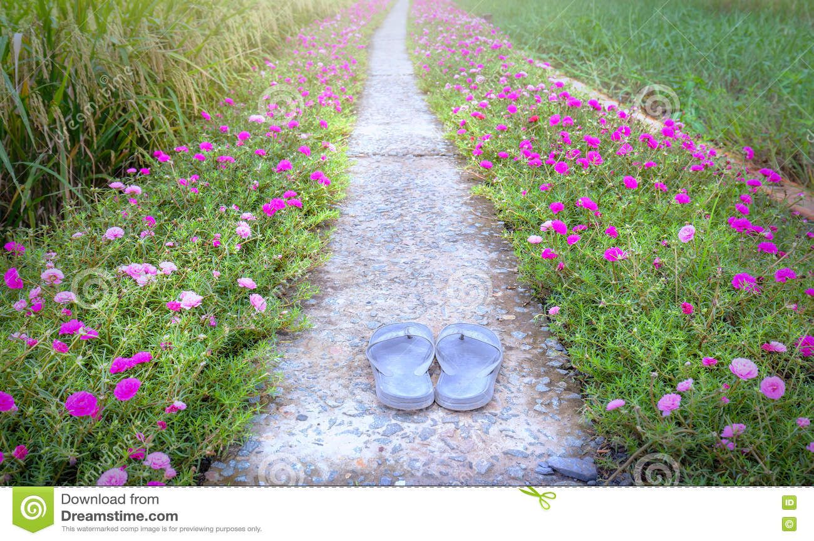 Estrada grandiflora da flor de Portulaca