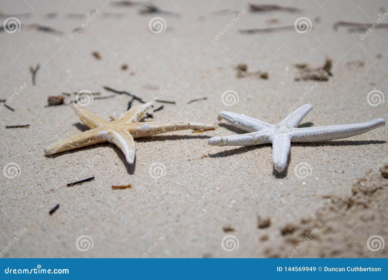 Estrela do mar dourada e branca em um Sandy Beach dourado