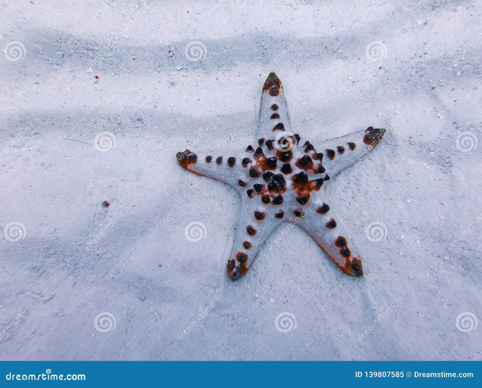 Estrela do mar, ilha sibuan, sabah, malaysia