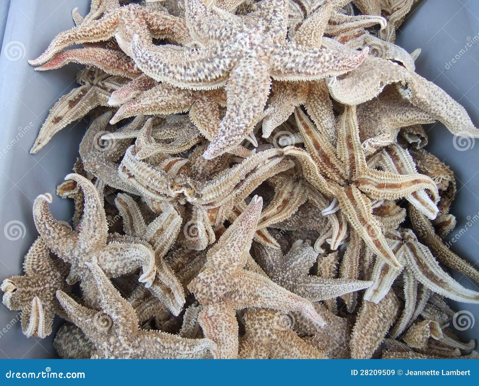 Estrela do mar secada
