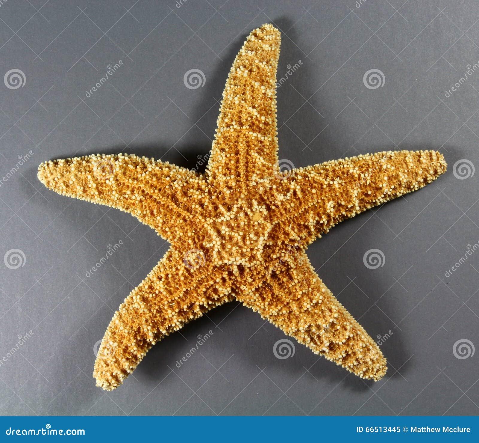 Estrella de mar de Forbes