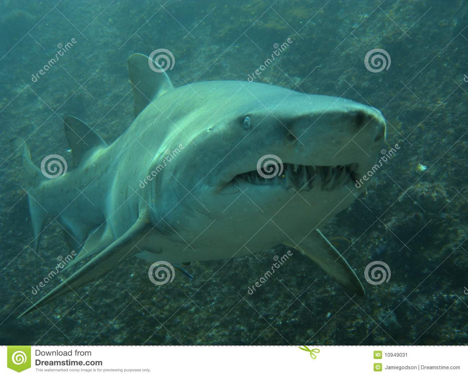 Estremità di affari di uno squalo di infermiera grigio