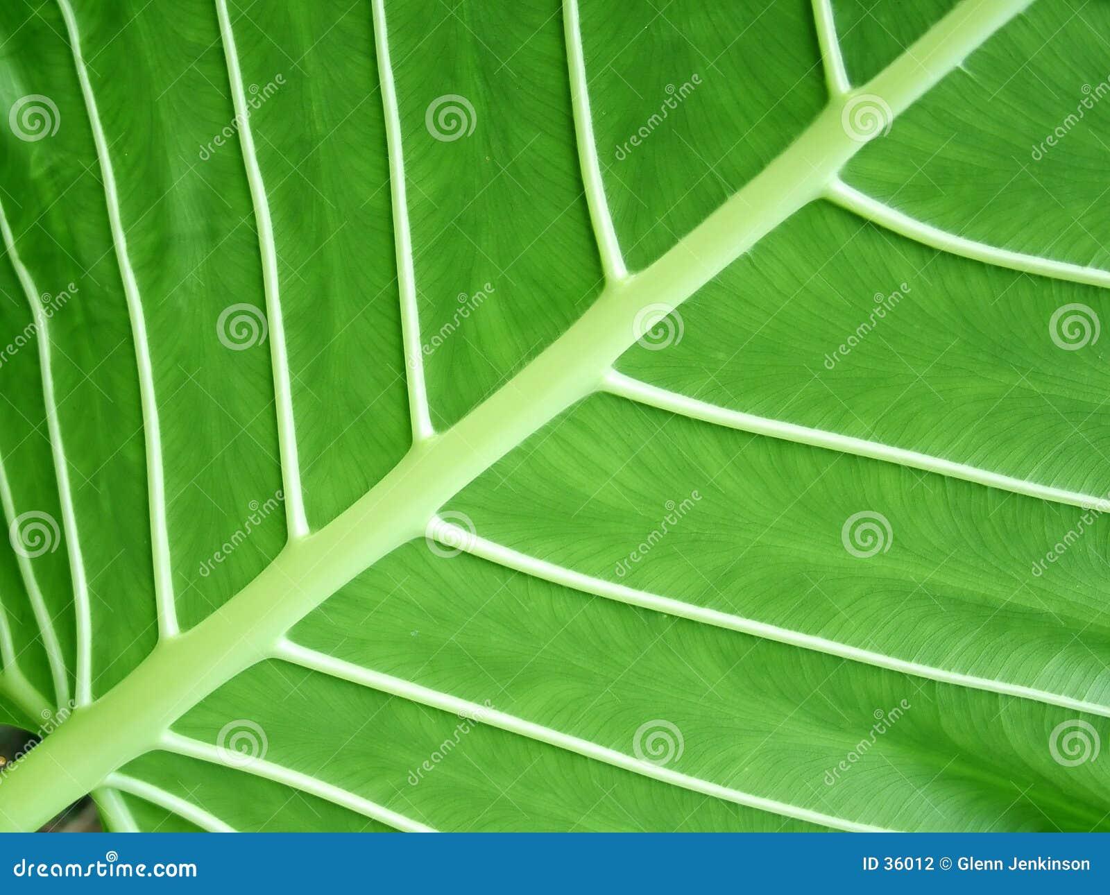 Download Estructura de la hoja foto de archivo. Imagen de greenery - 36012
