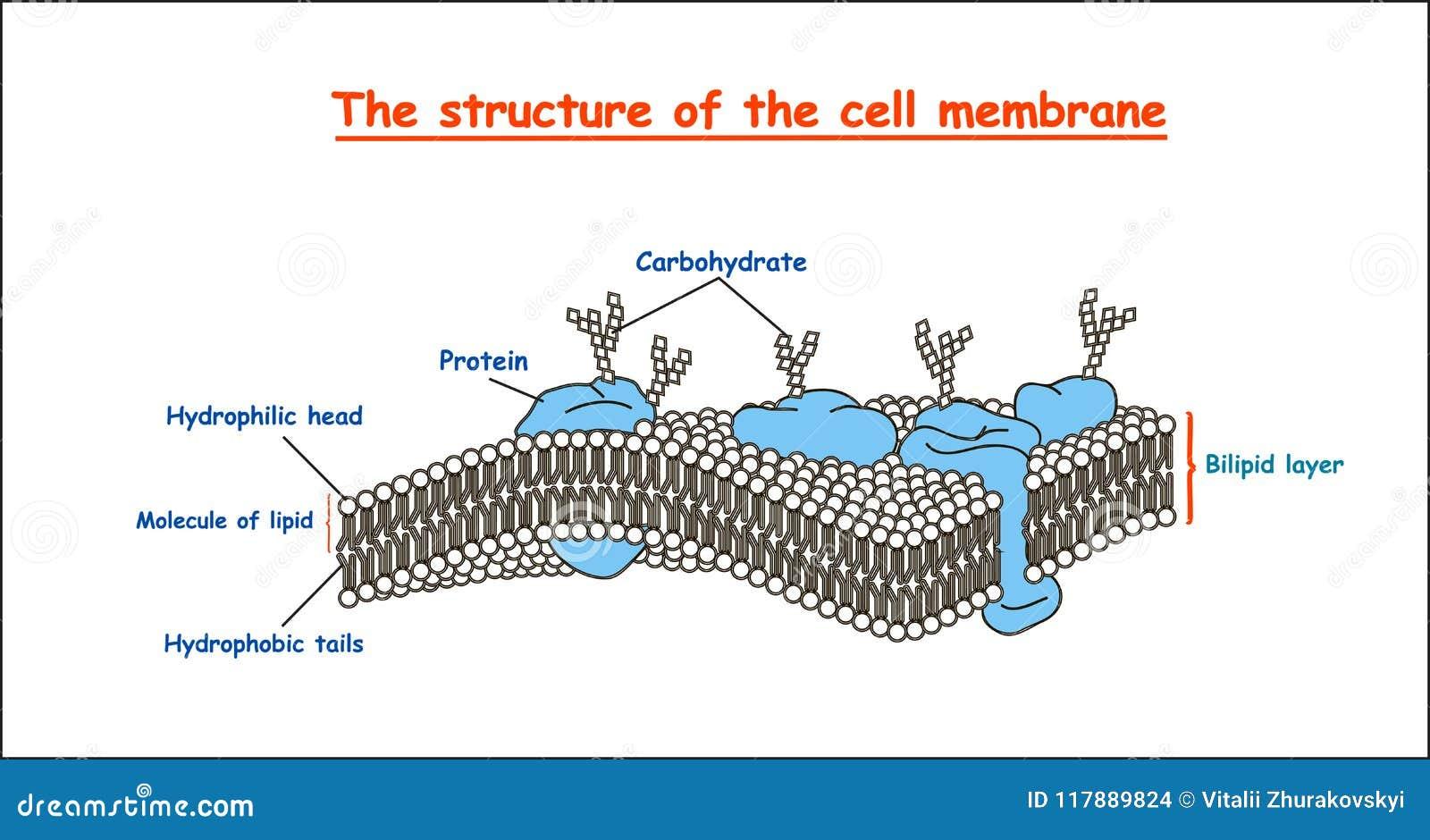 Estructura De La Membrana Celular En Monocromo En El Fondo