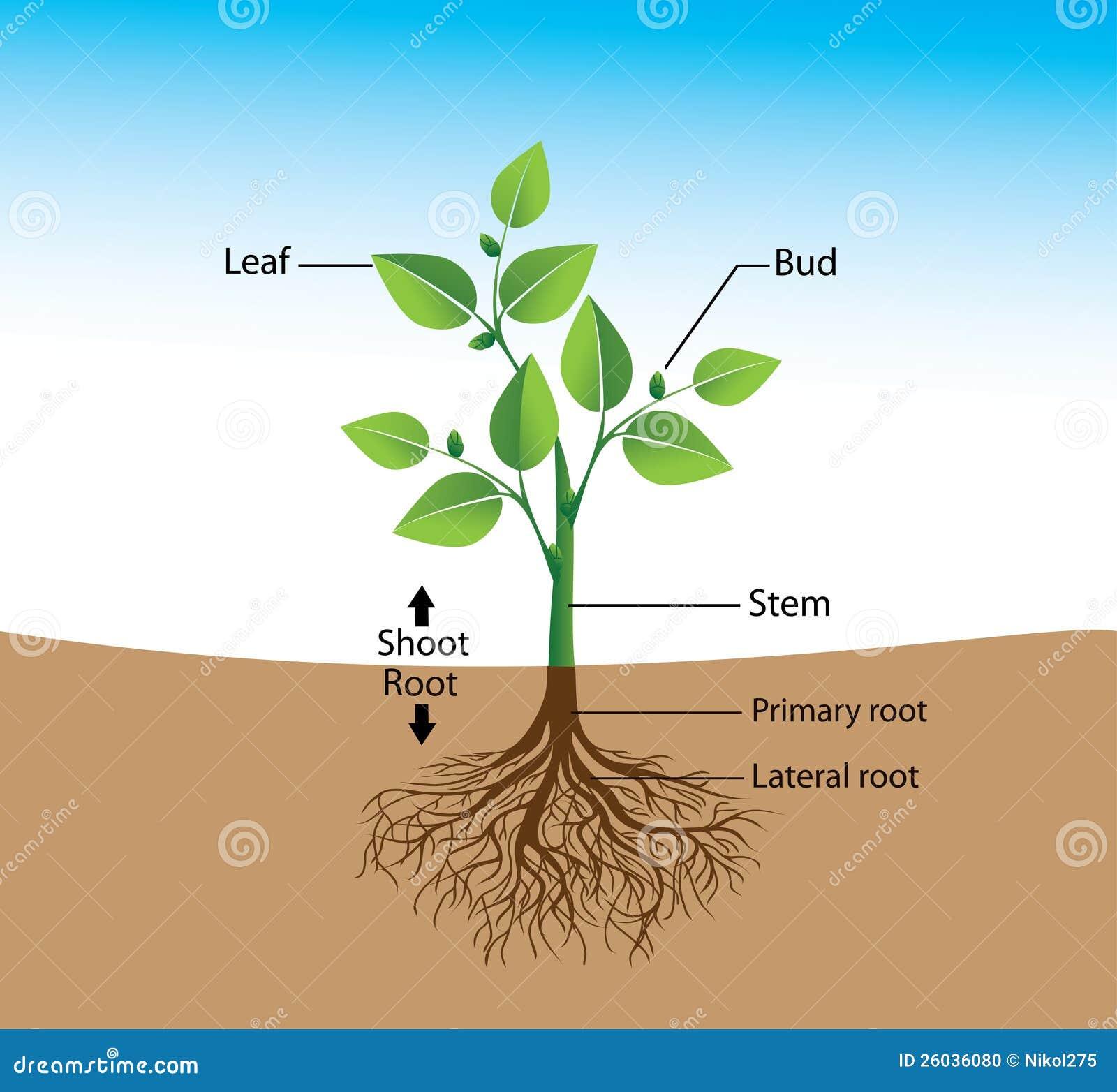 Estructura de la planta ilustraci n del vector for Estructuras para viveros plantas