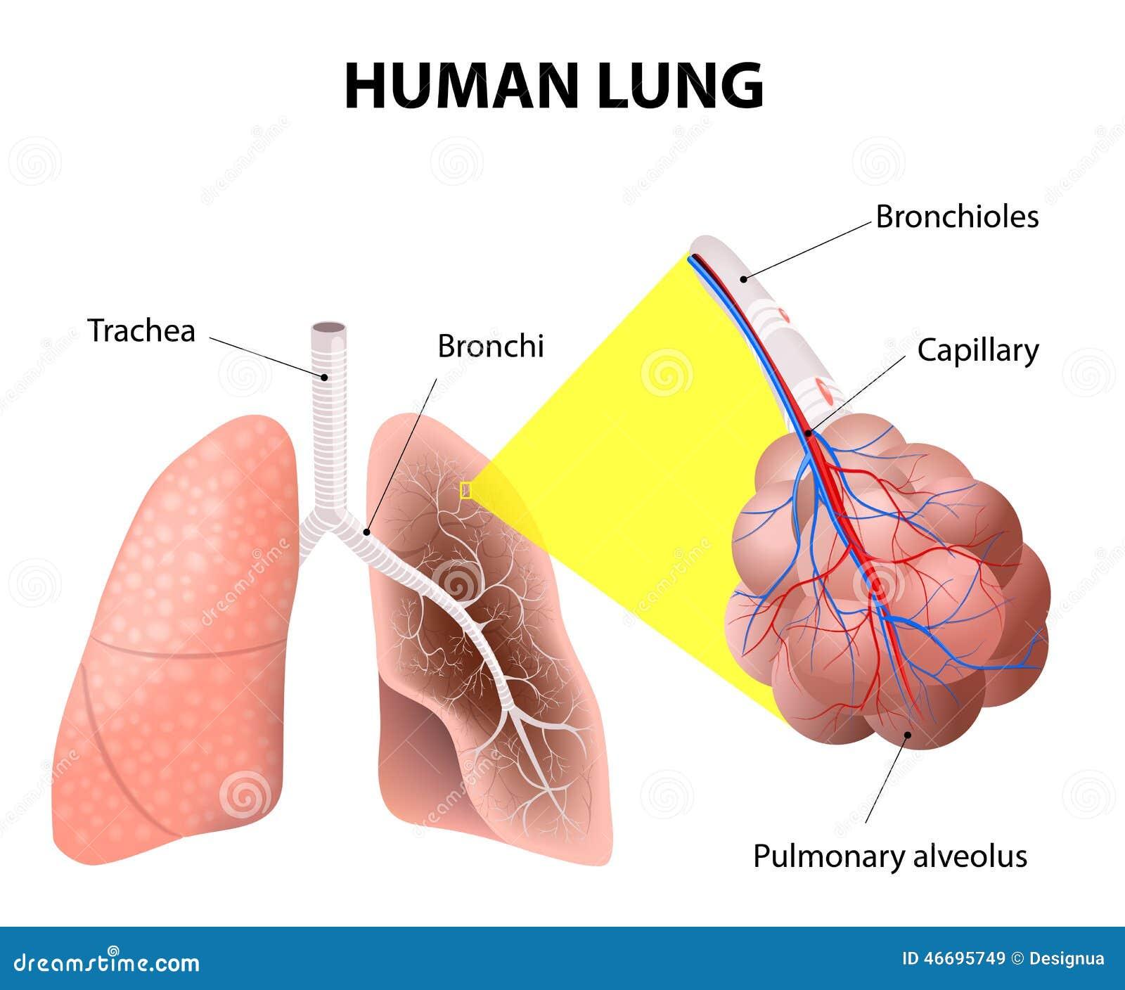 Estructura De Los Pulmones Humanos Anatomía Humana Ilustración del ...