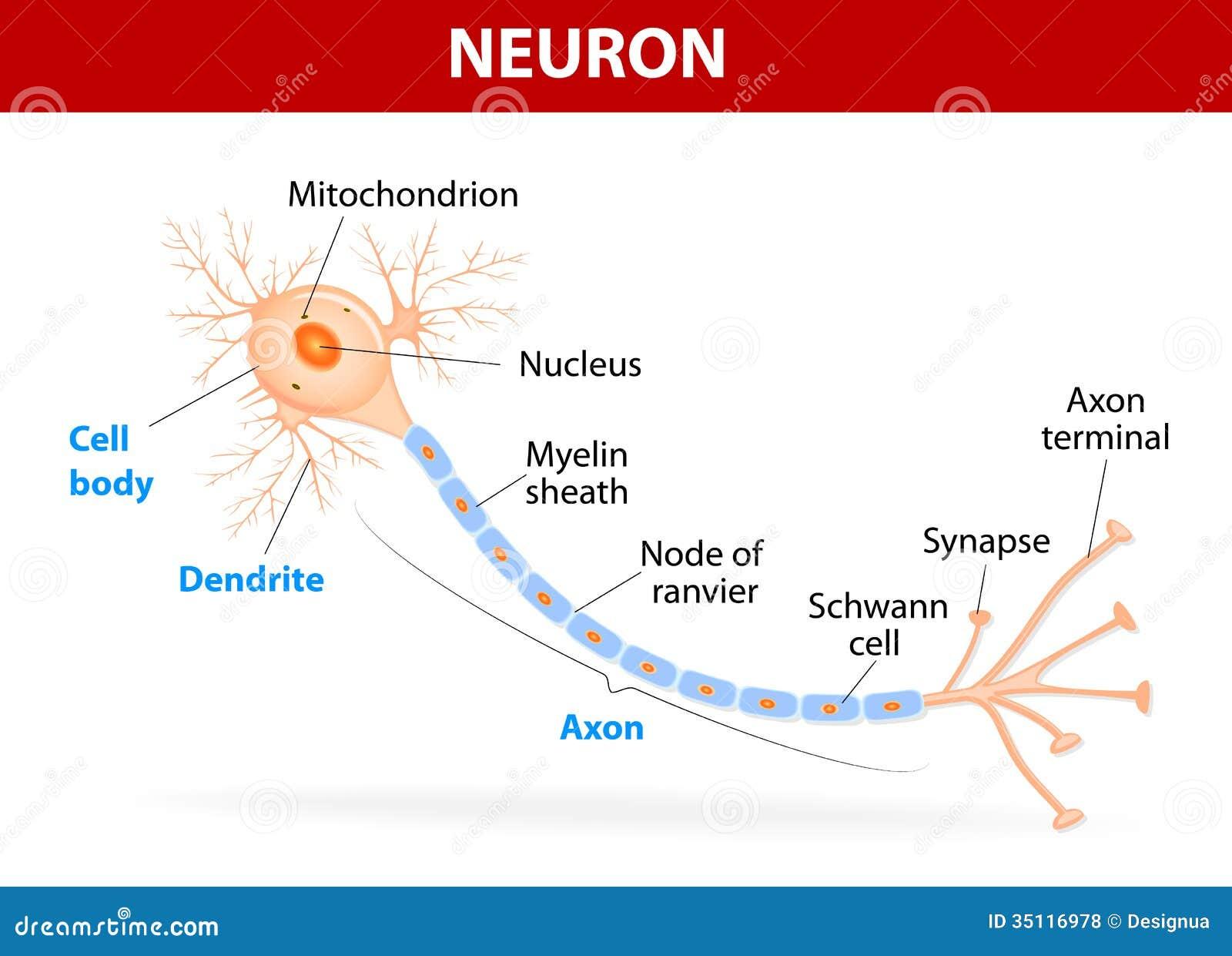 Estructura De Una Neurona Típica Ilustración del Vector ...