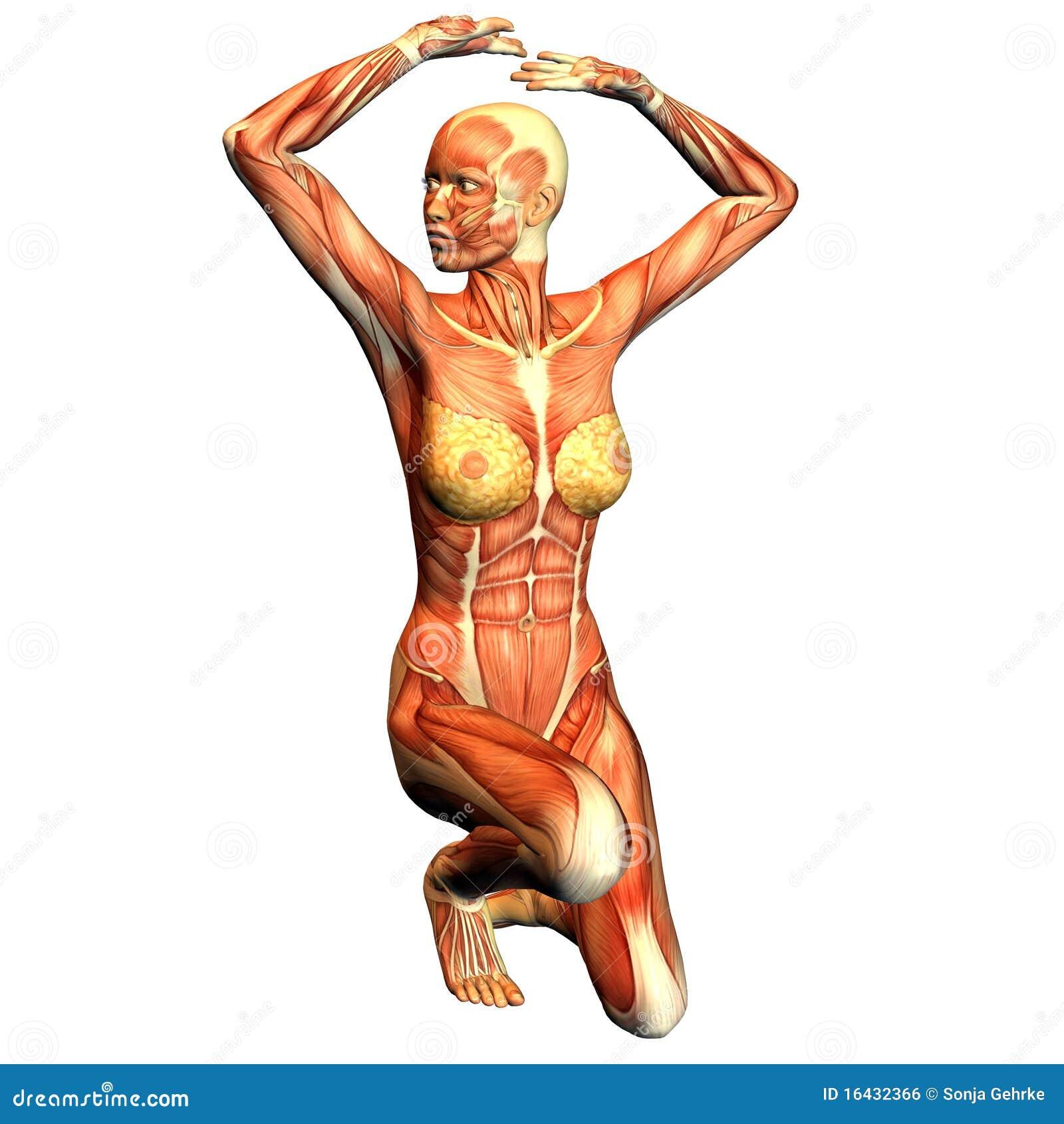 Pechos - Músculos Femeninos De La Anatomía Stock de ilustración ...