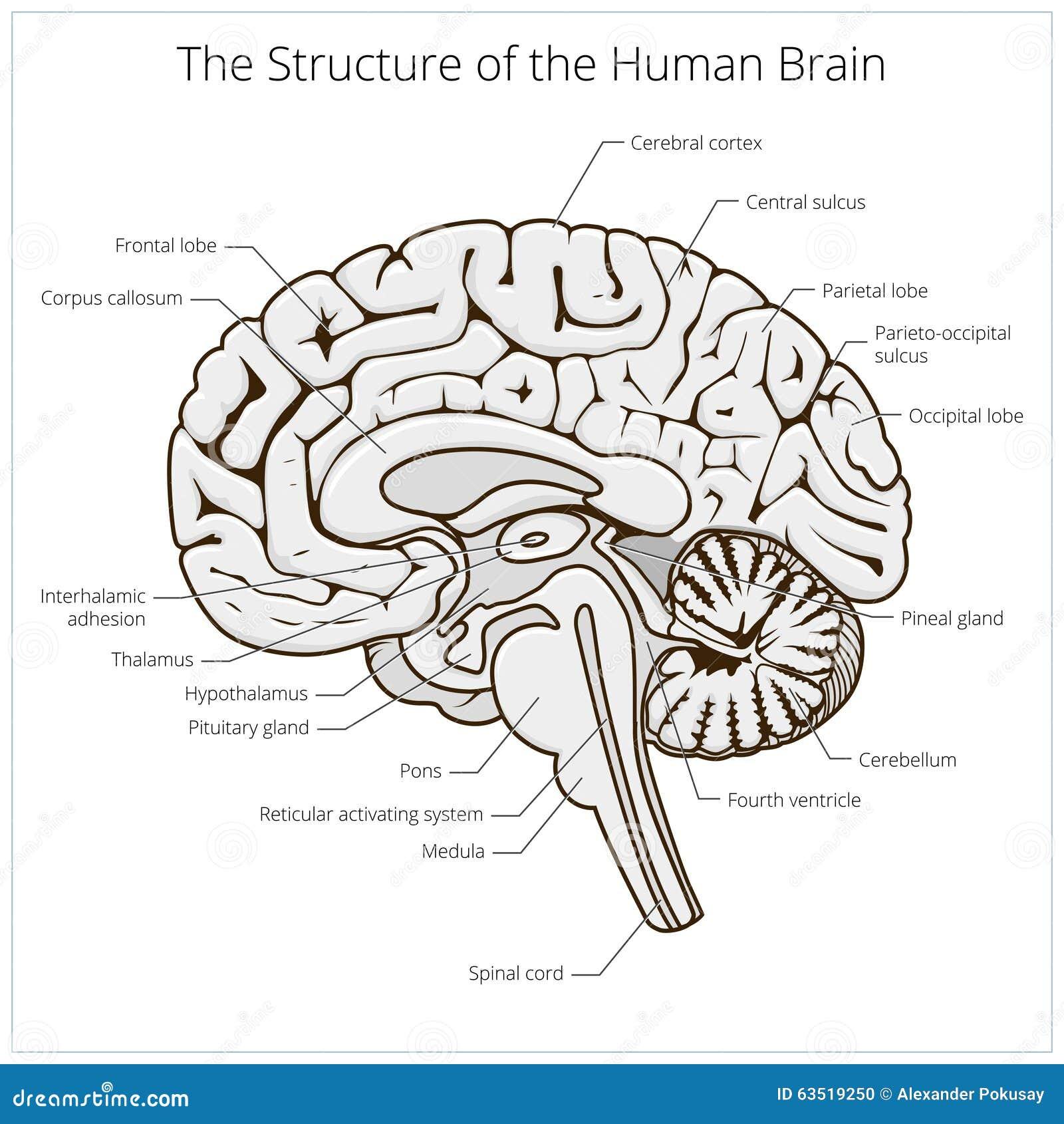 Estructura del vector del diagrama esquemático de la sección del cerebro humano