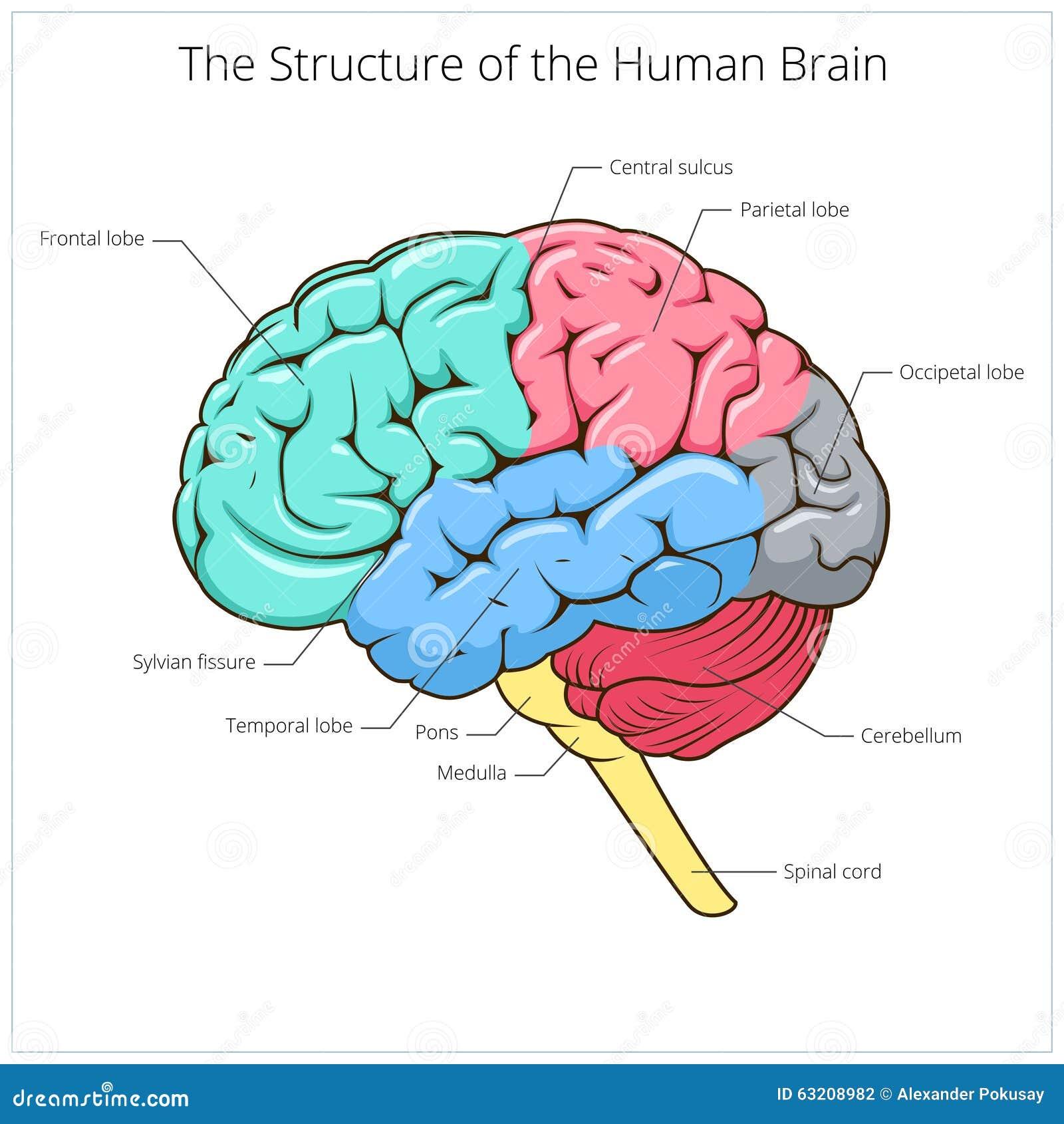 Único Cerebro Etiqueta Del Diagrama De La Anatomía Ornamento ...
