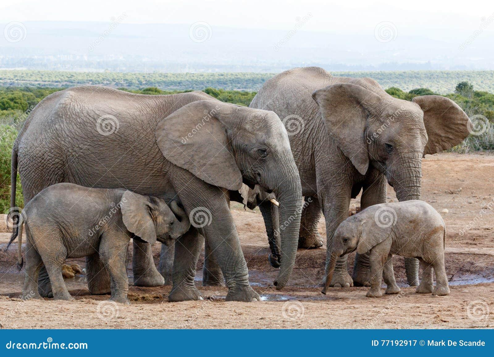 Estructura Familiar Africana Del Elefante Del Arbusto Imagen