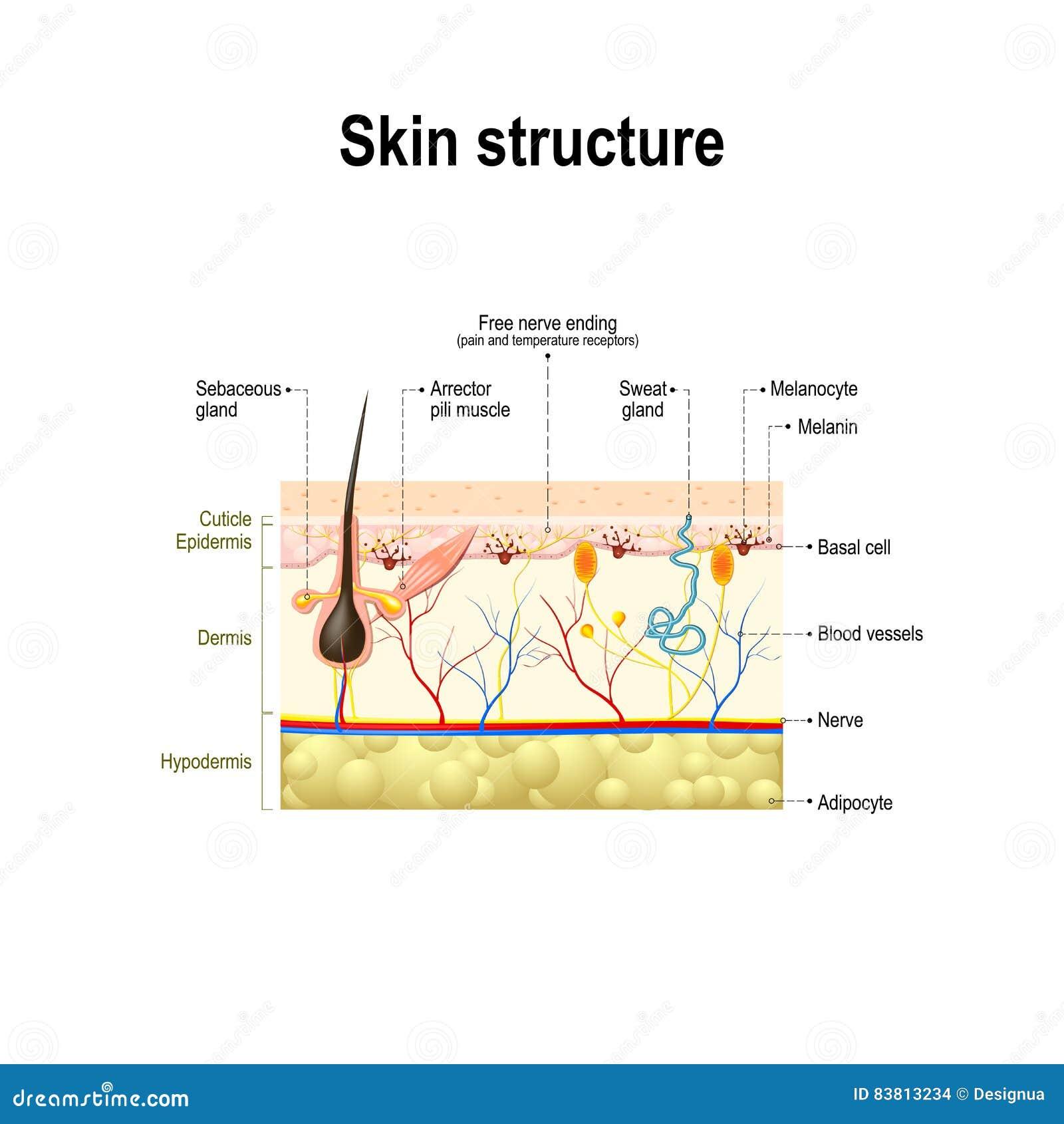 Estructura Humana De La Piel Ilustración del Vector - Ilustración de ...
