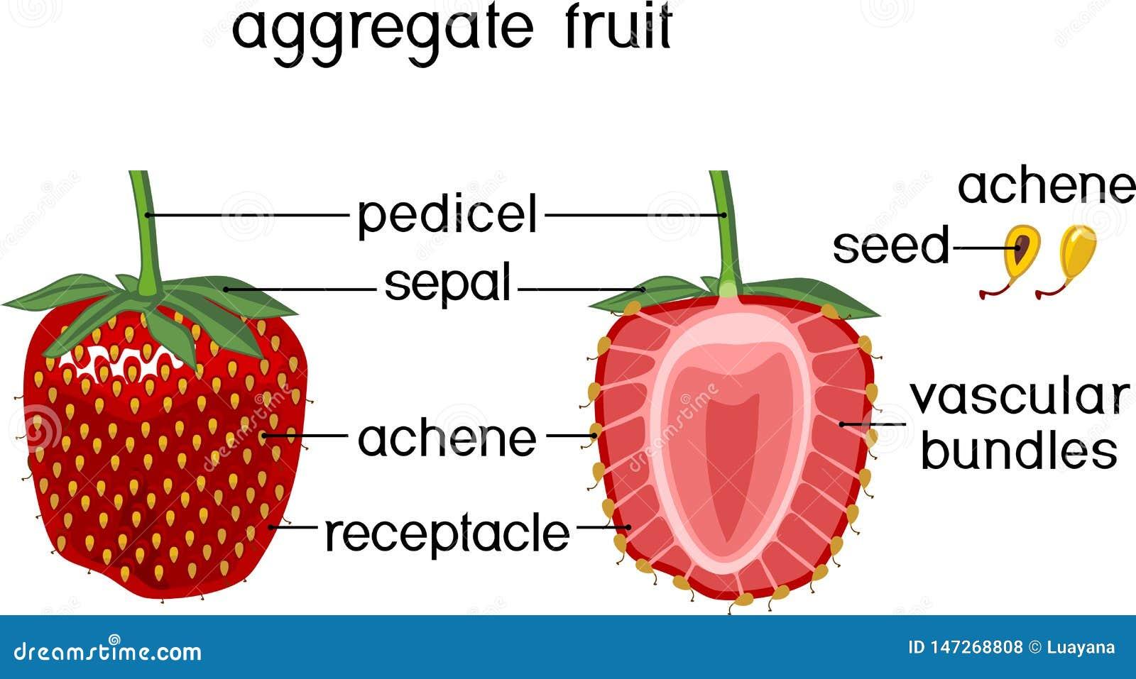 Estructura Interna De La Fruta Global De La Fresa