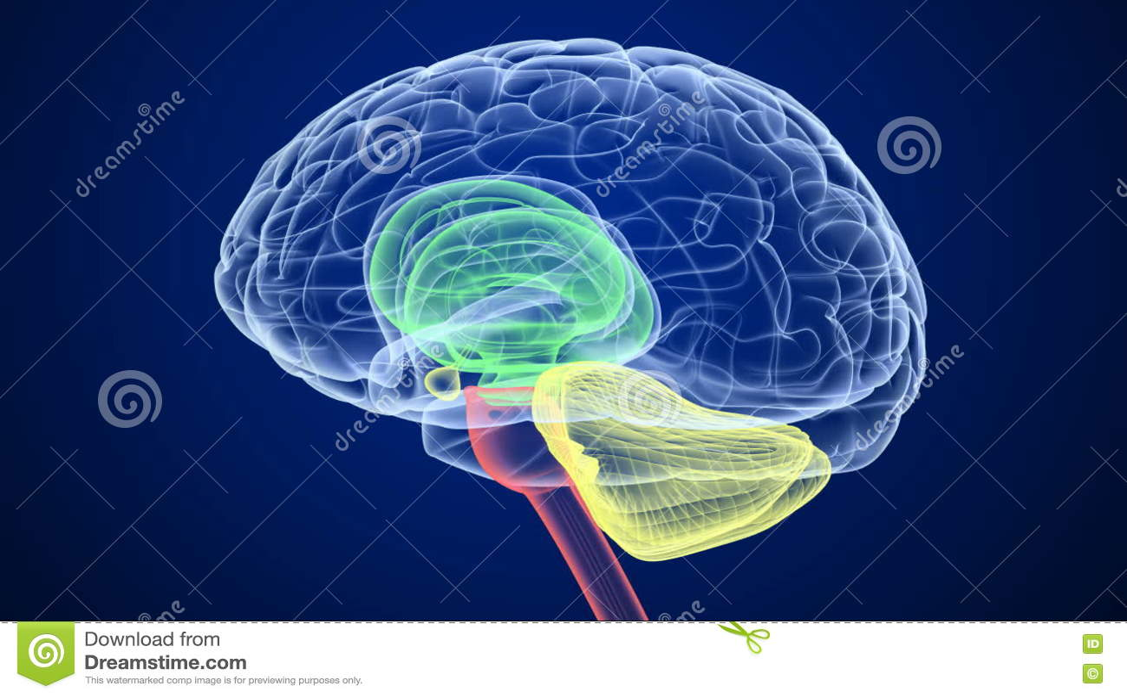 Estructura Interna Del Cerebro Metrajes Vídeo De Examen