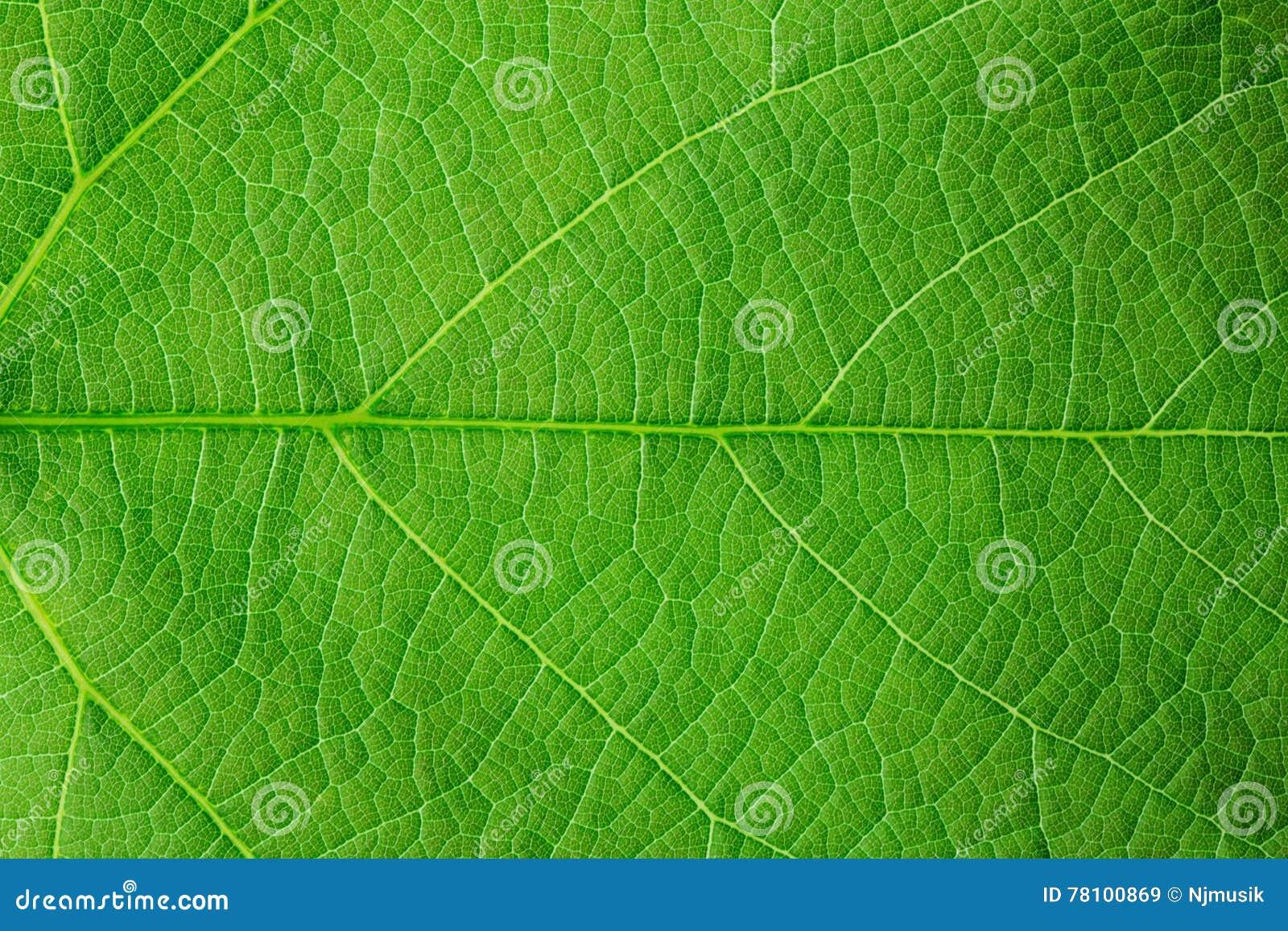 Estrutura da folha verde