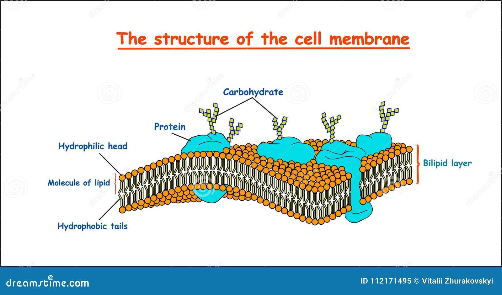 Estrutura da membrana de pilha no fundo branco isolado ilustração do vetor da educação