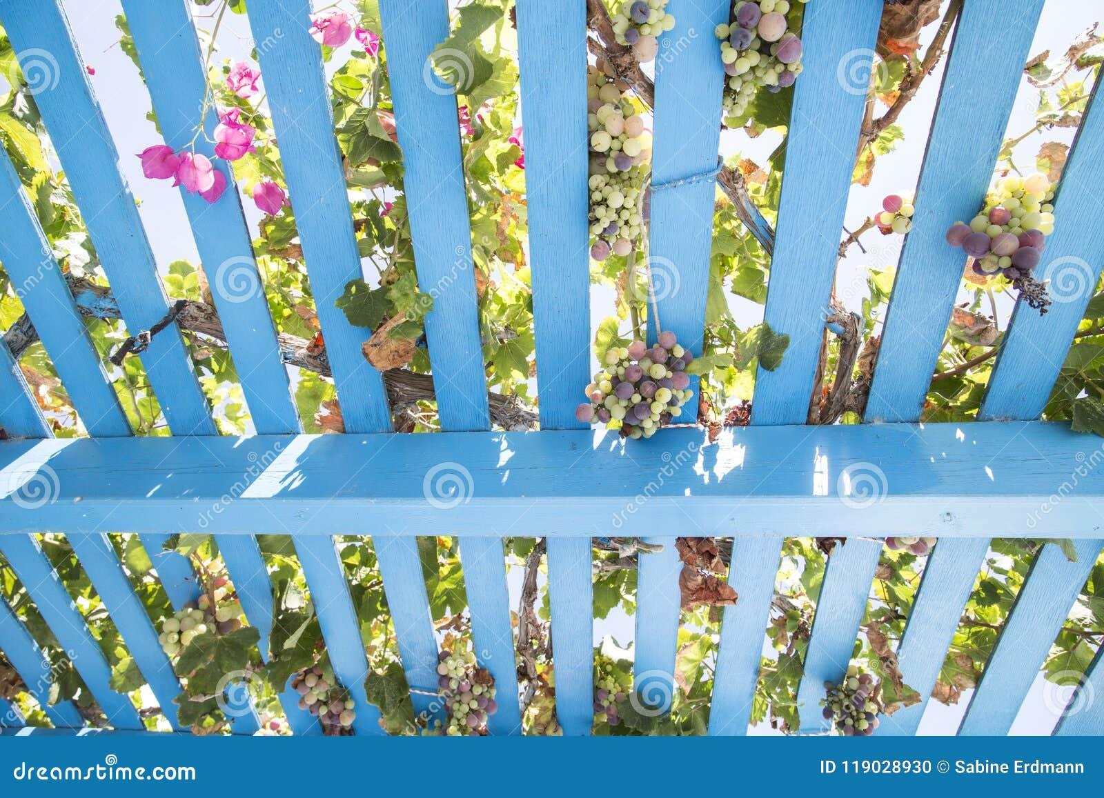 Estrutura de madeira pintada do caramanchão com videiras, uvas e as flores cor-de-rosa
