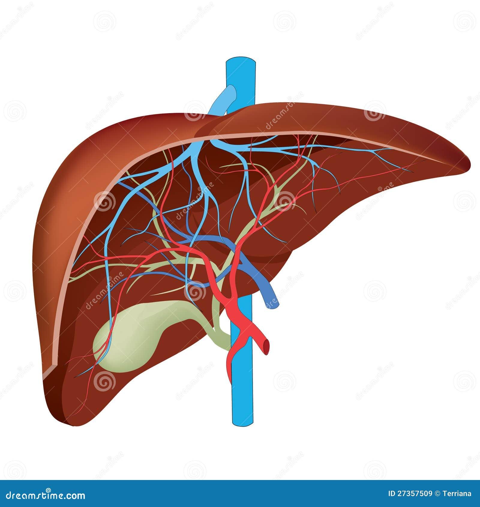 Estrutura do fígado humano.