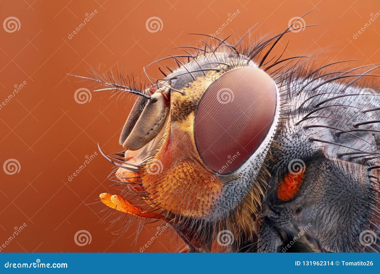 Estudio muy agudo y detallado de la cabeza de la mosca apilado de muchas imágenes en una foto muy aguda