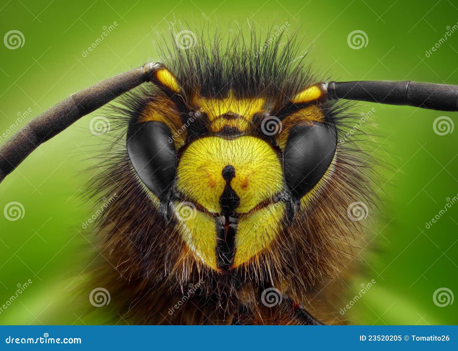 Estudo afiado e detalhado extremo da cabeça da vespa