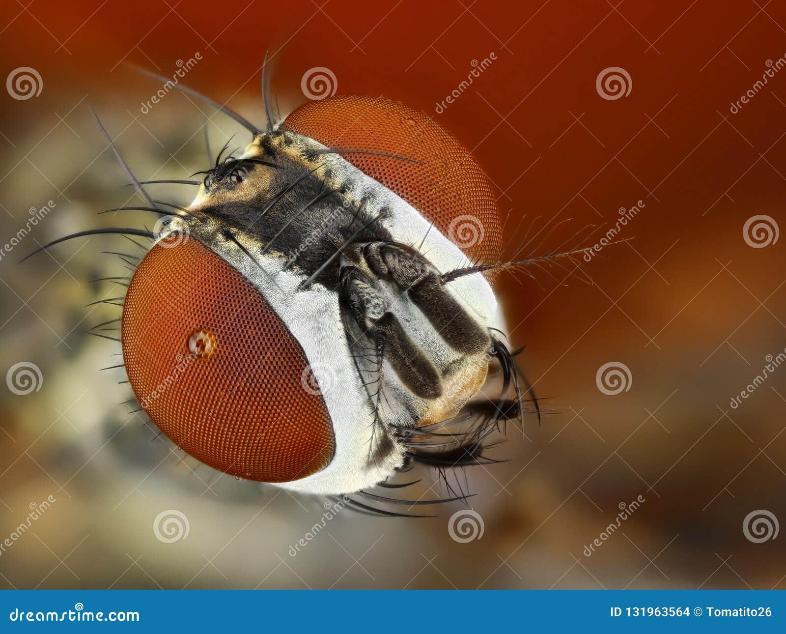 Estudo detalhado da cabeça da mosca empilhado de muitas imagens em uma foto afiada