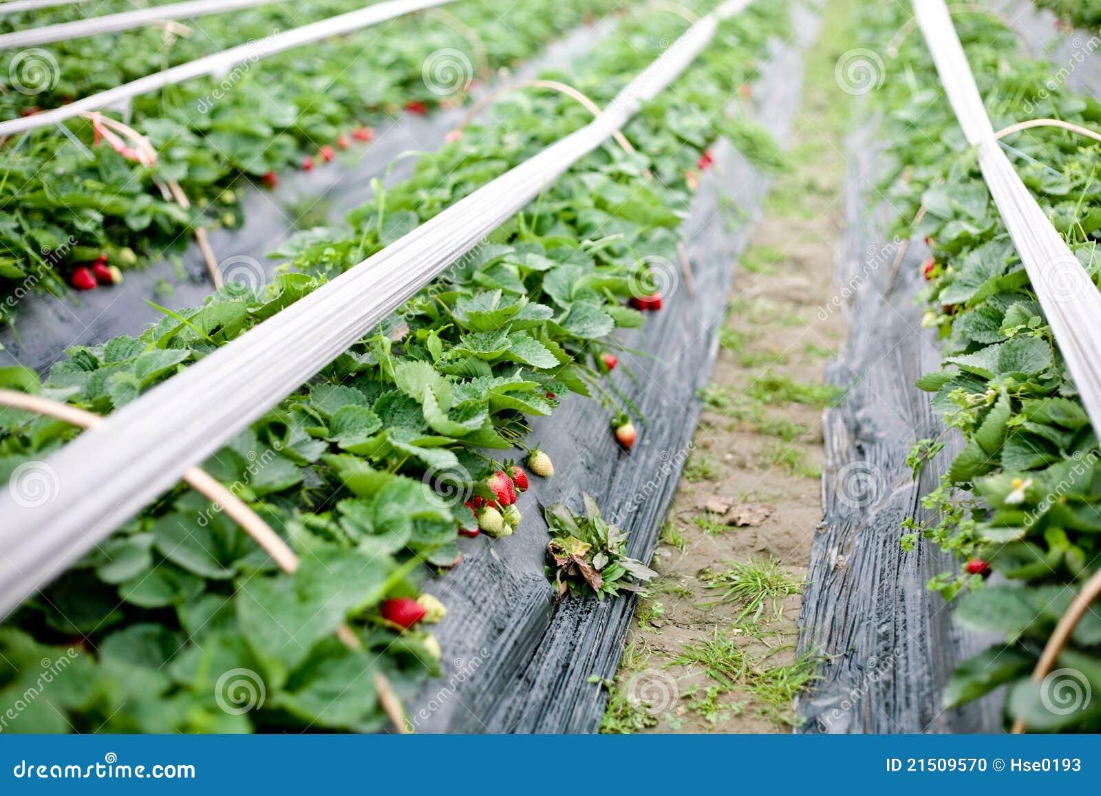 Estufa para morangos foto de stock imagem 21509570 - Foto estufa ...