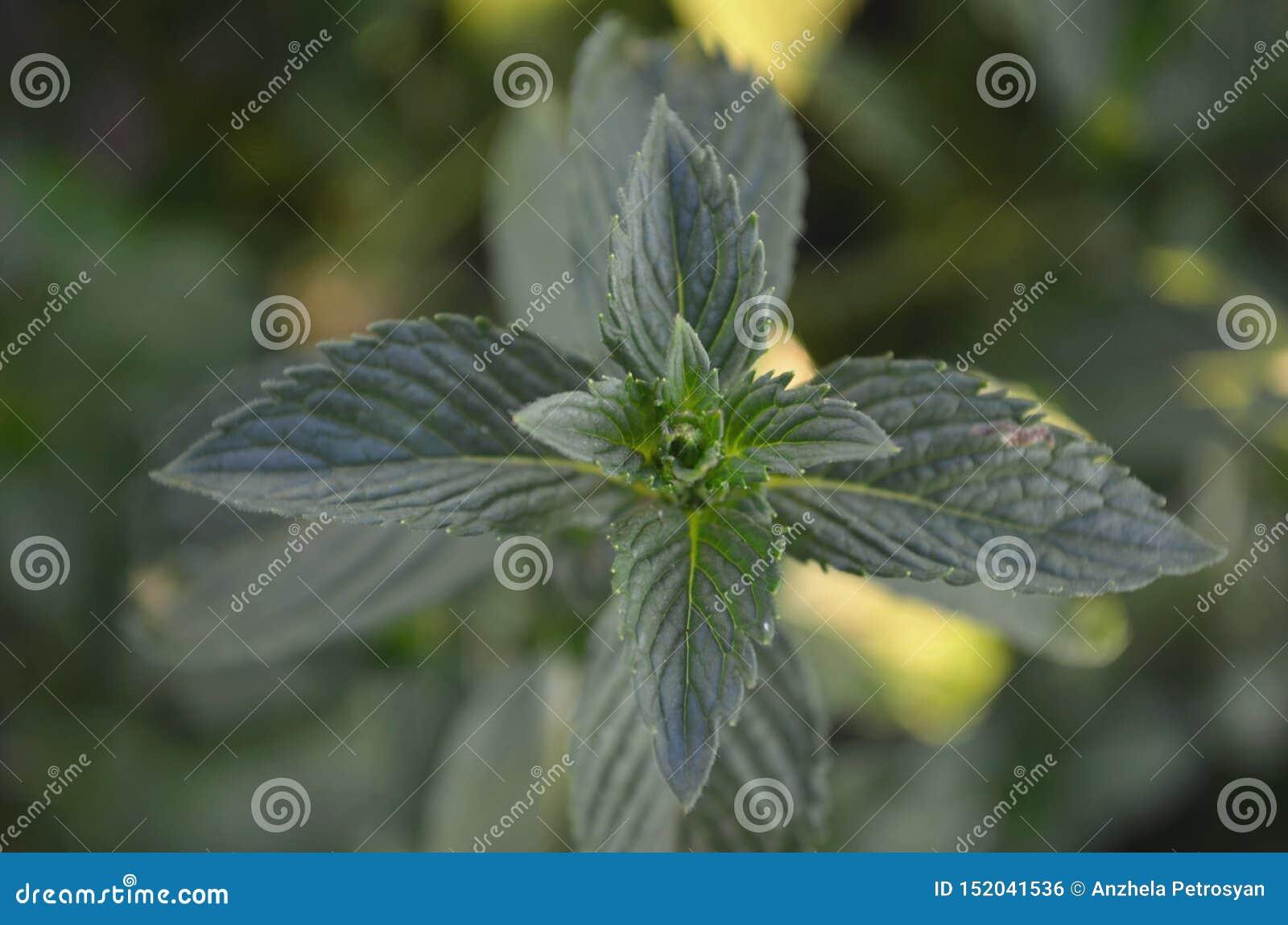 Esverdeie as folhas de hortel?