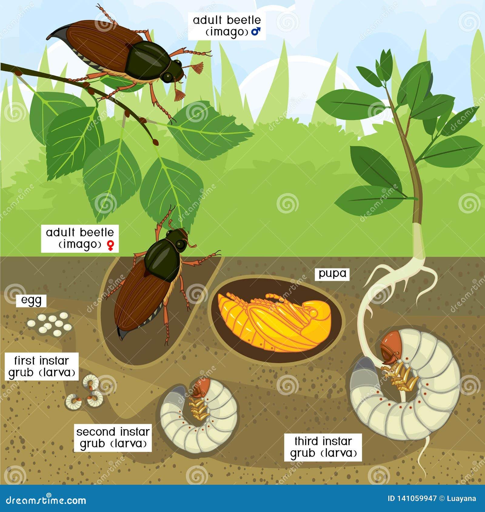 Etap życia chrząszcz Sekwencja sceny rozwój chrząszcza Melolontha melolontha od jajka dorosła ściga