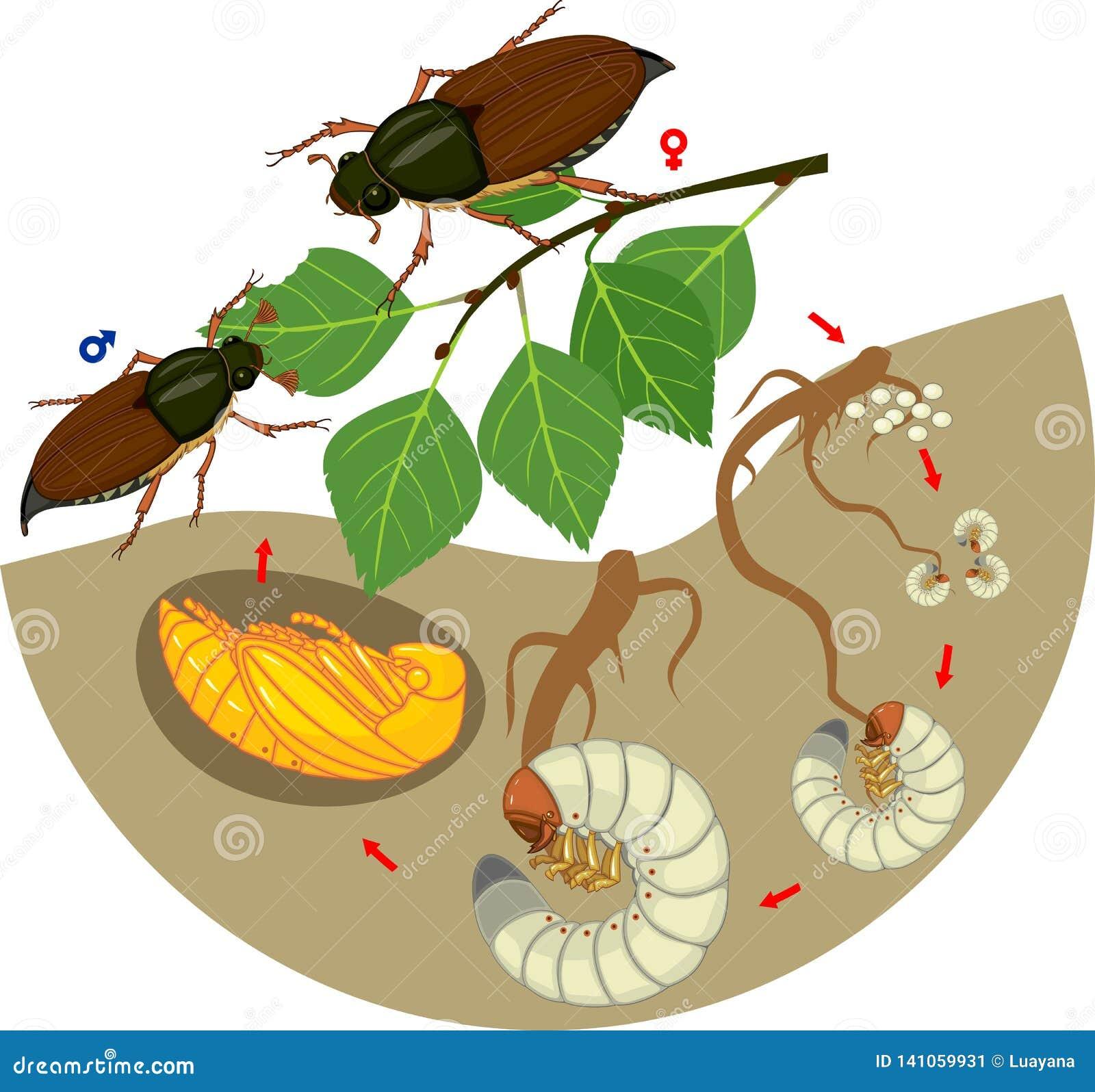 Etap życia chrząszcz Sekwencja sceny rozwój chrząszcza Melolontha sp od jajka dorosła ściga