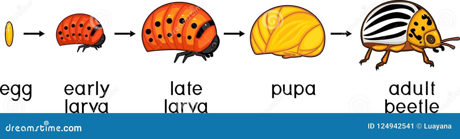 Etap życia Kolorado kartoflana ściga lub Leptinotarsa decemlineata Sceny rozwój od jajka dorosły insekt