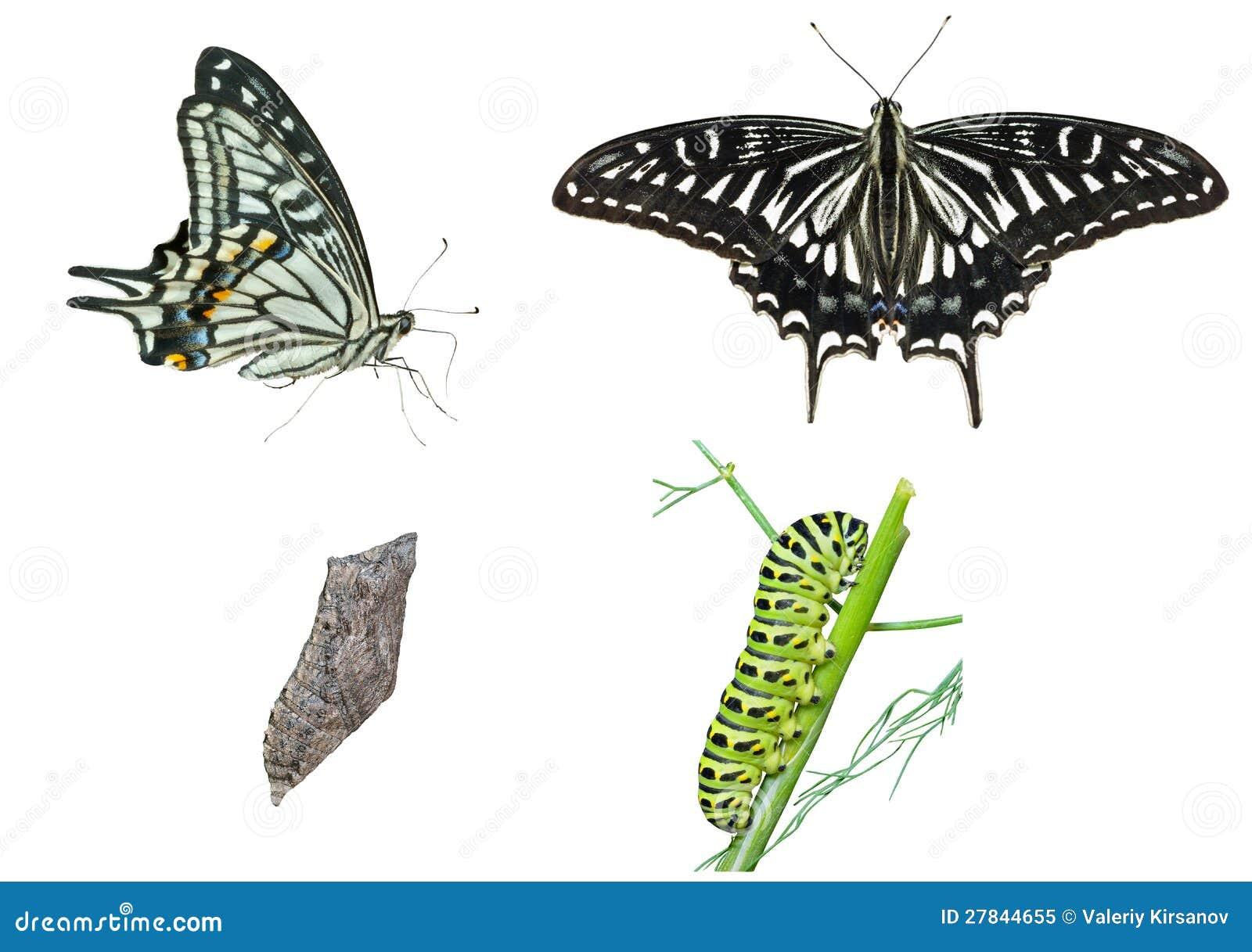 Etapas de la mariposa