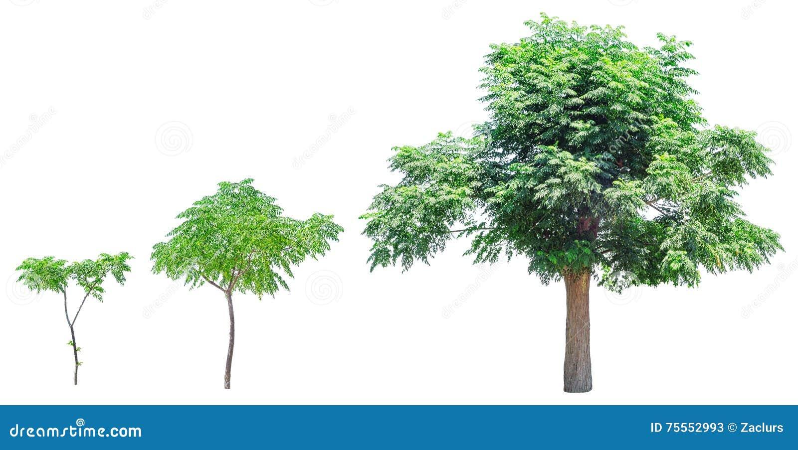 Etapas del crecimiento del árbol