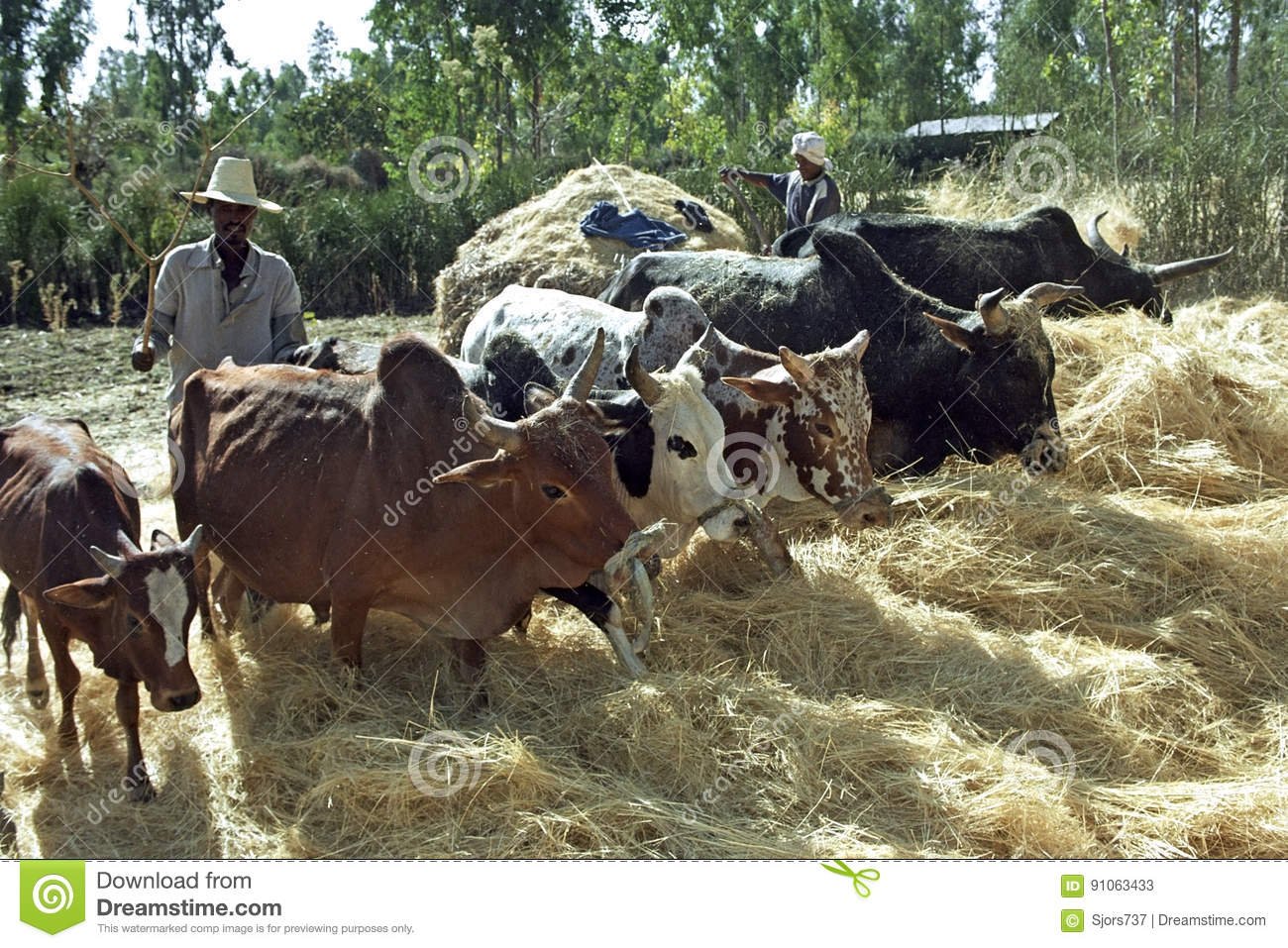Ethiopian Farmer And Cows Threshing Harvested Grain Editorial Stock Photo