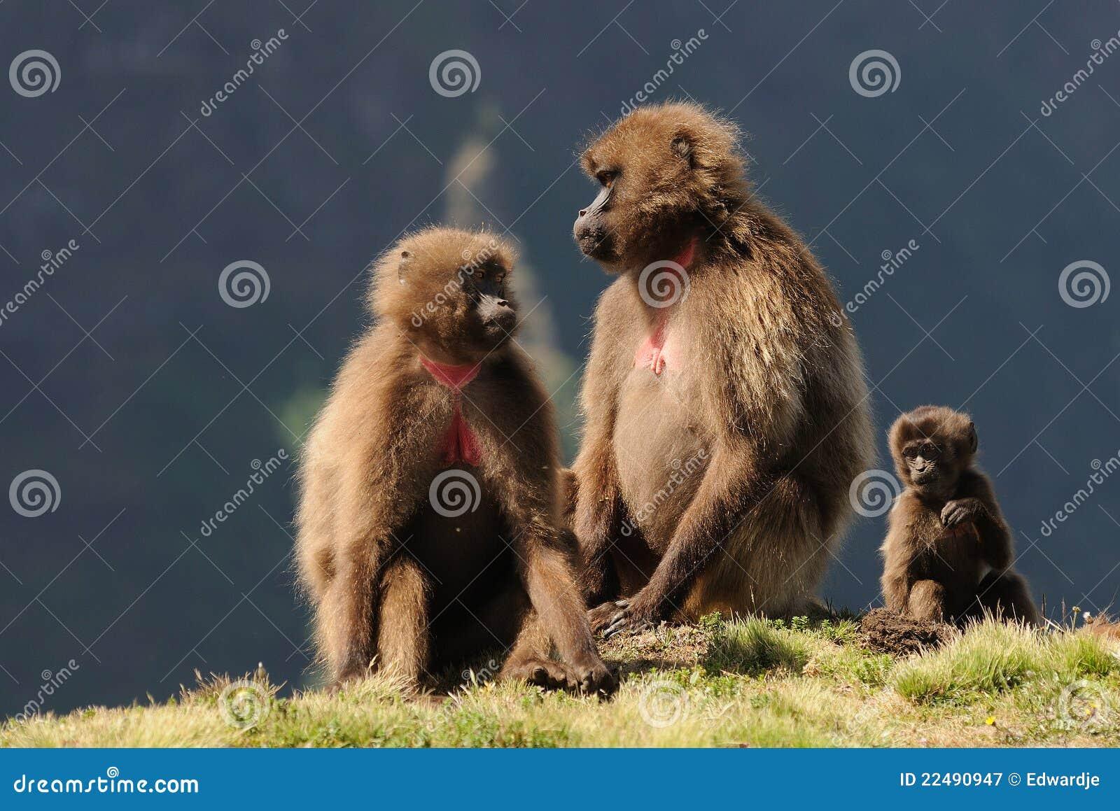Ethiopian gelada baboons