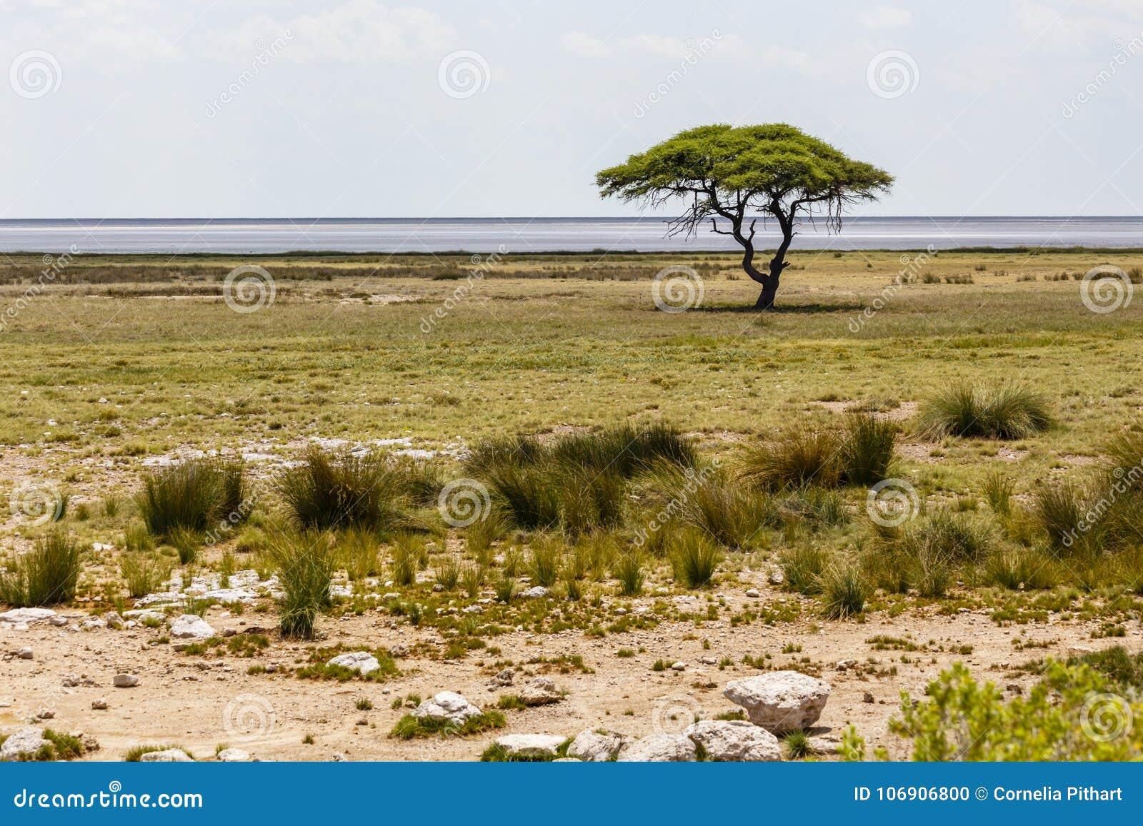 Ethosha niecka z drzewem, Namibia