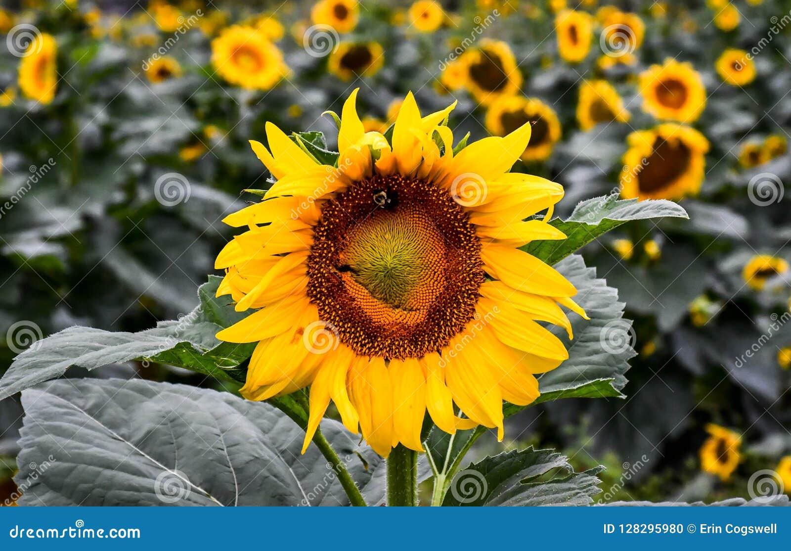 Ett bi på en blommande solros, jaspis, Georgia, USA