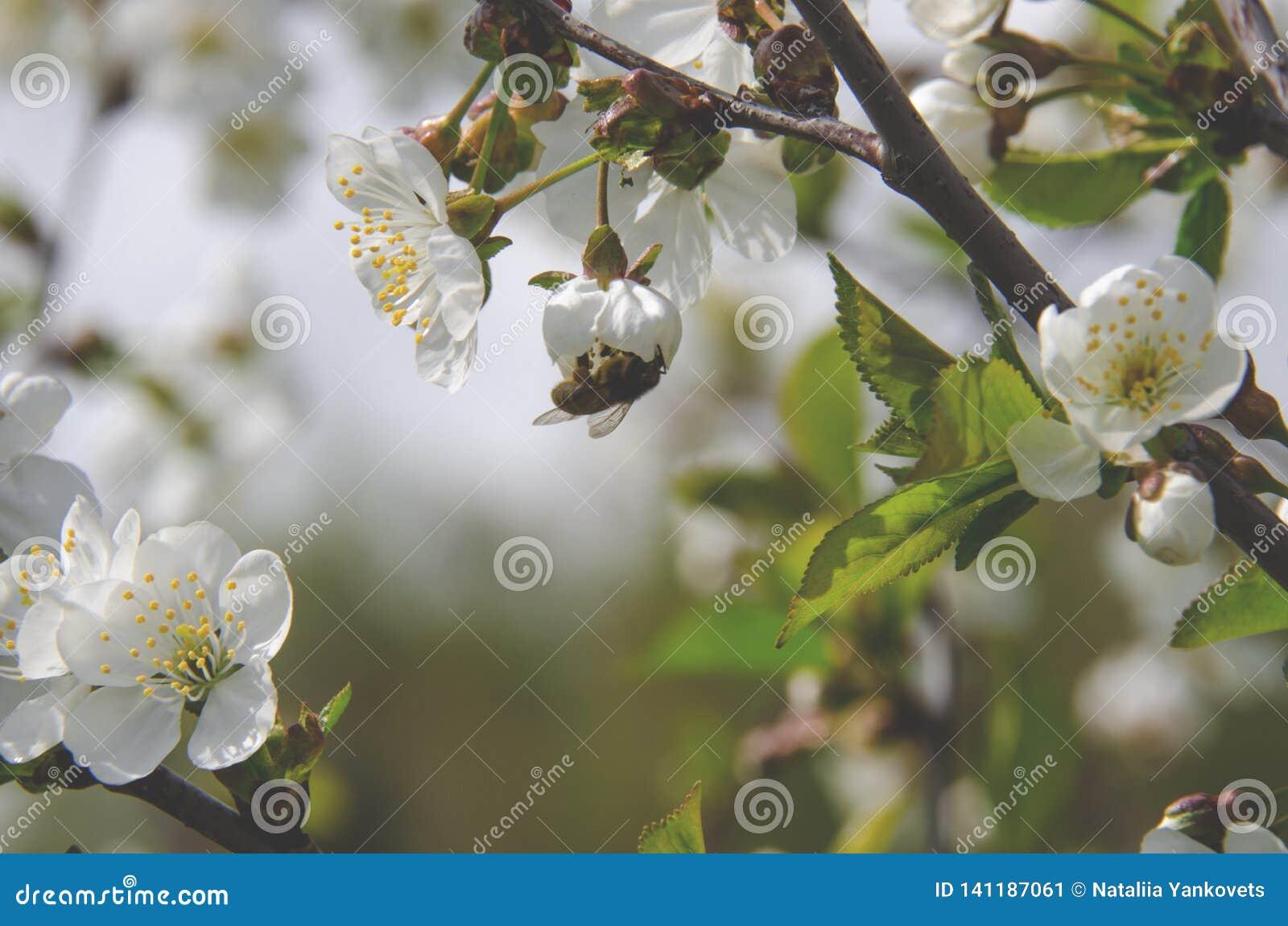 Ett bi sitter på en blomma för körsbärsrött träd och samlar pollen