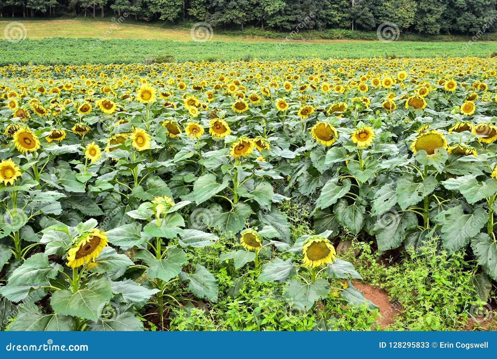Ett blommande solrosfält, jaspis, Georgia, USA