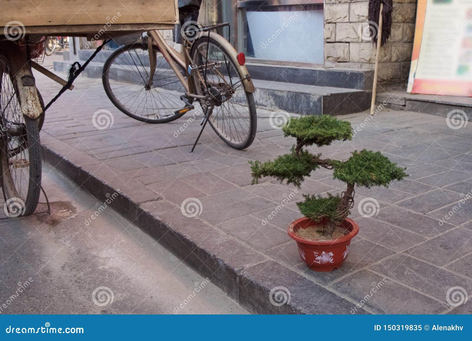 Ett bonsaiträd i en kruka står på trottoaren i streen