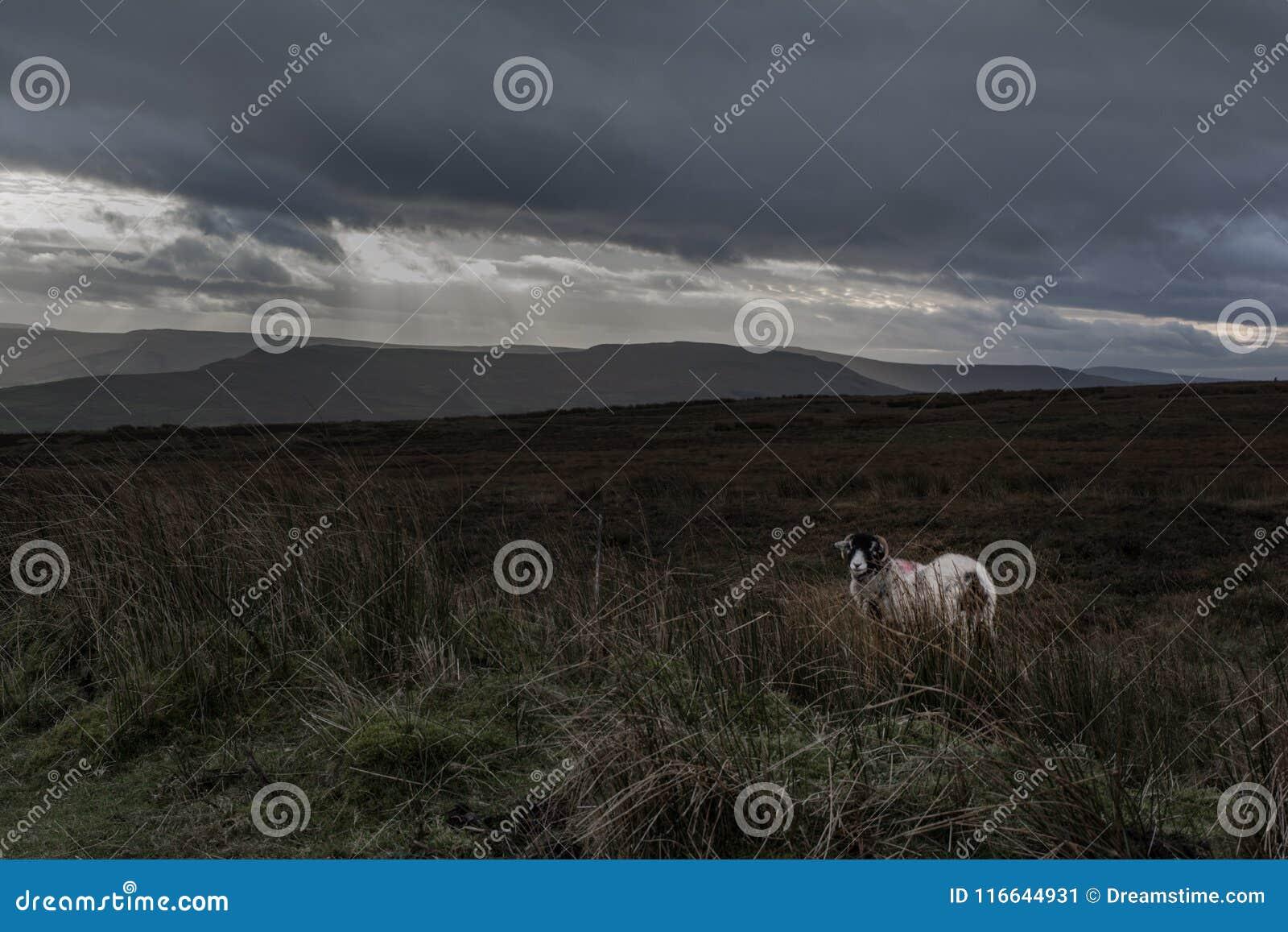 Ett ensligt får på en blek hed
