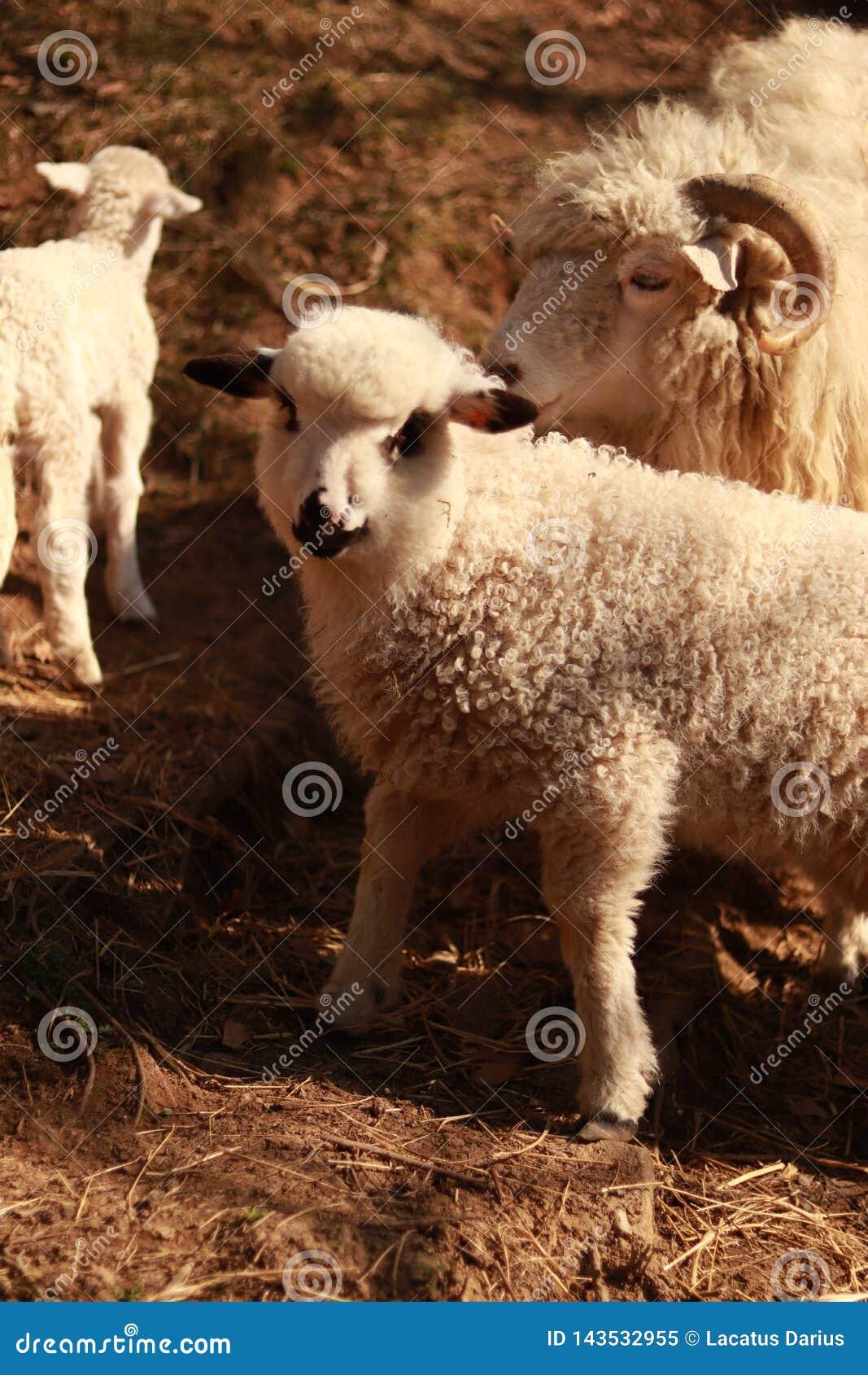 Ett får med ett lamm
