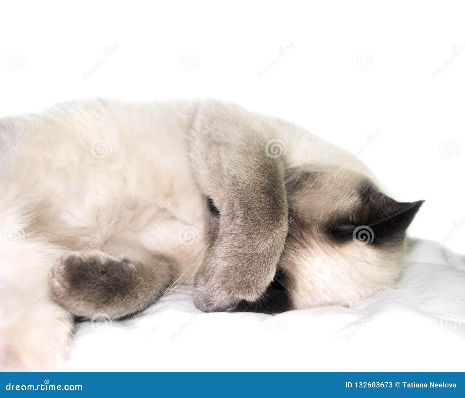 Ett foto av att sova thaien, siamese kulör damkatt för blå punkt