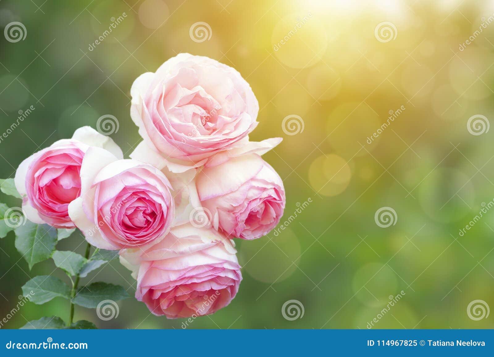Ett foto av den rosa busken för engelsk gräns för klättring rosa, sommarträdgård Rosa buske i parkera Solskenstrålar, bokeh med s