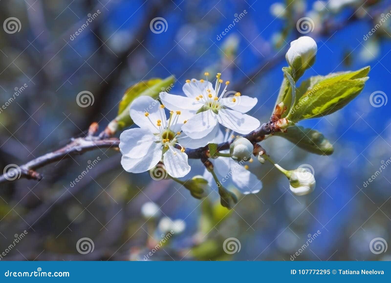 Ett foto av det blommande äppleträdet på den blåa himlen Bakgrund för hälsningkort för Tu Bishvat eller affisch för nytt år av tr