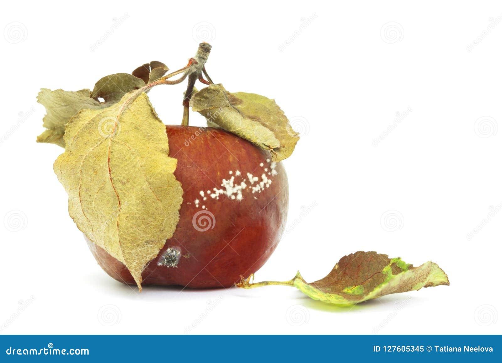 Ett foto av formen som växer på det gamla äpplet som isoleras på vit bakgrund Matförorening, bad spolierade äckligt ruttet organi
