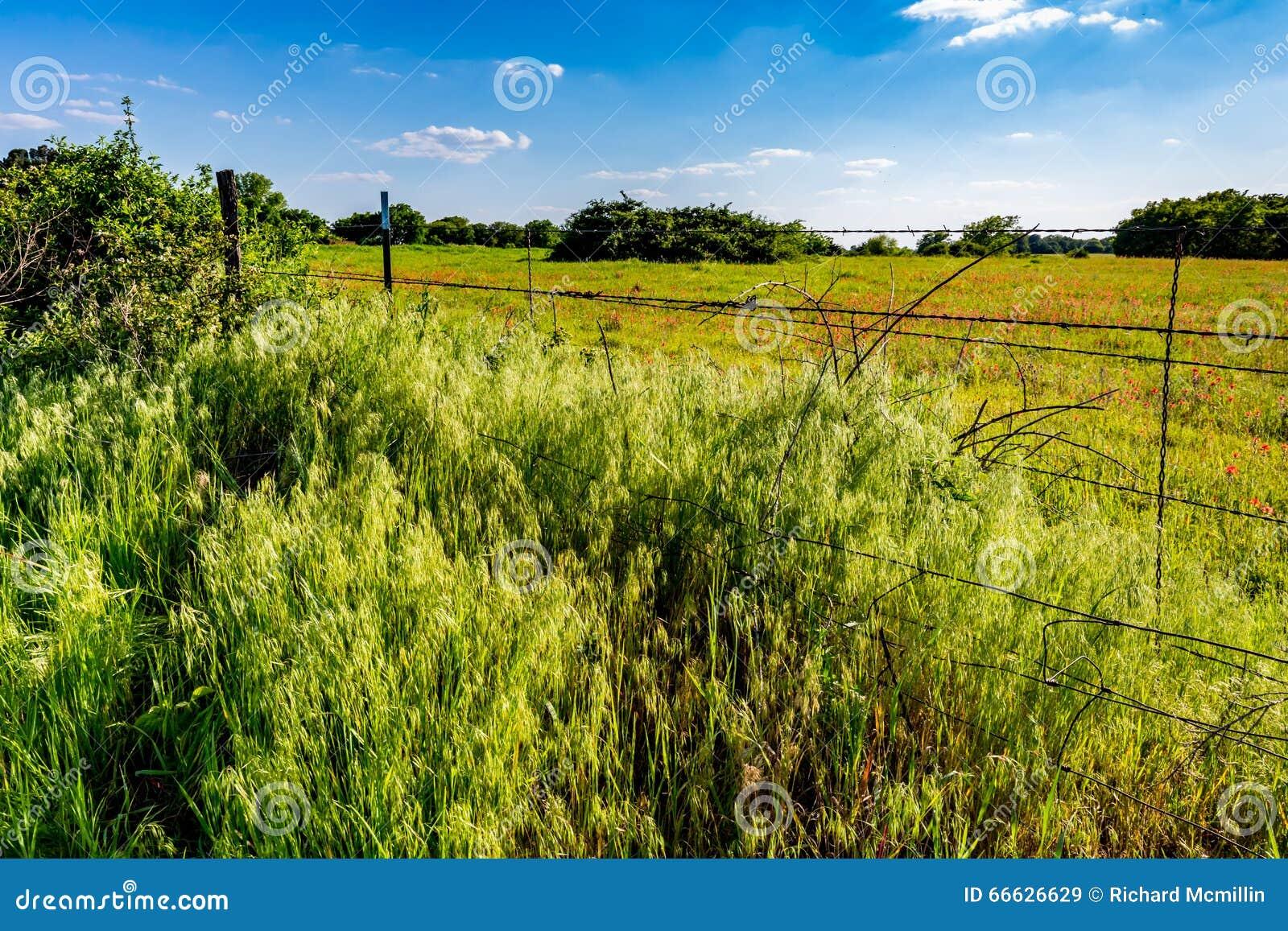 Ett härligt fält av den ljusa orange indiska målarpenseln i Oklahoma
