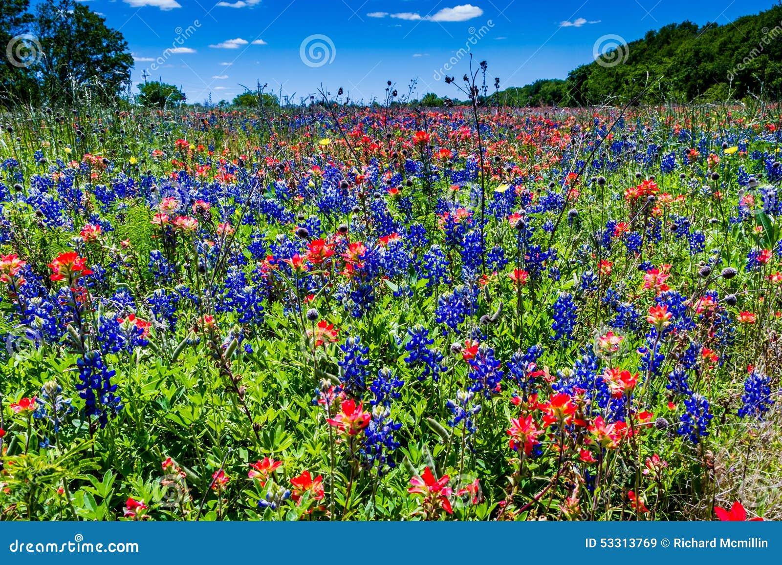 Ett härligt fält som filt med den berömda ljusa blåa Texas Bluebonnet och den ljusa orange indiska målarpenseln
